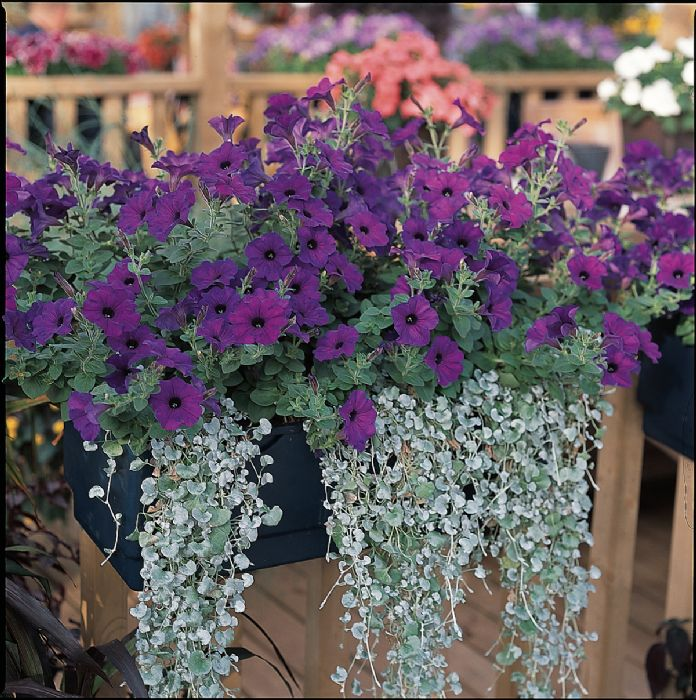 Lee 39 s garden center kentucky hodgenville florist gift shop - Wave petunias in containers ...