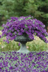 Easy Wave Petunia Blue