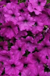 Easy Wave Violet Spreading Petunia